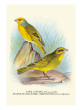 Cape Canary  Sulphur-Coloured Seed-Eater