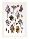 Shells: Sessile Cirripedes