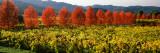 Crop in a Vineyard  Napa Valley  California  USA
