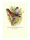 Australian Fire-Tailed Finch