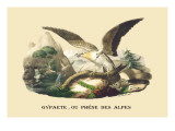 Gypaete  Ou Phene des Alpes