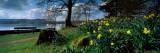 Daffodils at the Lakeside  Lake Windermere  English Lake District  Cumbria  England