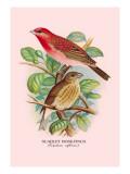 Scarlet Rose-Finch