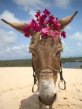 Tourist Donkey  Genipabu Dunes