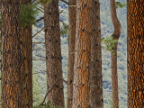 Pine Tree Trunks