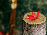 Autumn Leaf on Trunk in Tenju-An Temple Garden