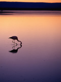 Flamingo Silhouetted at Sunset in Laguna Chaxa