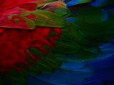 Macaw Plumage Detail