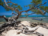 Gnarled Tree at Jake's Resort  Treasure Beach