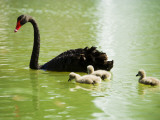 Black Swan (Cygnus Atratus) with Cygnets on a King's Park Lake