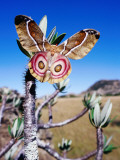 Endemic Suraka Silk Moth (Antherina Suraka)  Female  Resting on a Pachypodium Plant