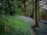 A Woodland Floor Carpeted with Bluebells-A Native Flower Unique to Britain