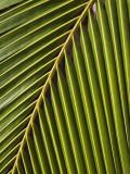Palm Frond  Westpunt