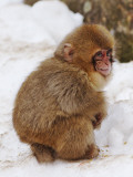 Baby Snow Monkey (Japanese Macaque) at Jigokudani Yaen-Koen Hot Spring