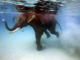 Elephant 'Rajes' Taking Swim in Sea