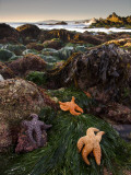 Starfish at Carmel Point at Low Tide