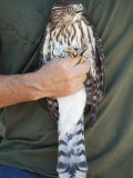 Prior to Release  Cooper's Hawk Is Displayed by Volunteer at Hawk Hill  Marin Headlands
