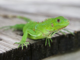 Green Iguana on Breakfast Table at Bucuti Beach Resort on Eagle Beach