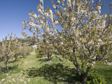 Cherry Trees Flowering in Springtime