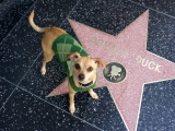 Little Dog Visiting Donald Duck's Star on Hollywood Walk of Fame