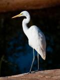 Great Egret on Gibb River