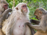 Macaques Monkeys (Rhesus Macaques) Grooming  Dhikala