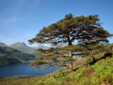 Scots Pines on Shore of Loch Hourn  Knoydart Peninsula