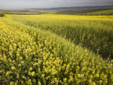 Rape Crop Flowers in Springtime in Northwestern Jaen Province