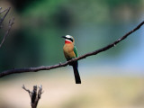 Little Bee Eater Sits on a Branch