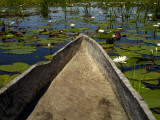 Mokoro  Traditional Dugout Canoe  Among Lilies on Delta