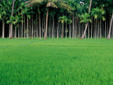 Rice Field with Betel Nut Trees in Background