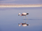 Andean Flamingo (Phoenicopterus Andinus) in Water