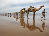 Hundreds of Camels Coming to Lake Asele to Collect Salt Block