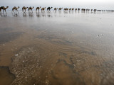 Hundreds of Camels Coming in to Lake Asele to Collect Salt Blocks