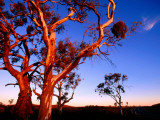 Roadside Gum Trees  Carrieton