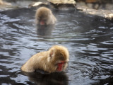 Snow Monkeys (Japanese Macaque) in Jigokudani Yaen-Koen Hot Spring