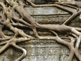 Detail of Tree Roots Overgrowing Ruins of Angkor Temple at Beng Mealeay