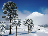Araucaria (Monkey Puzzle) Trees in Snow Below Volcan Llaima  La Aracucania Region