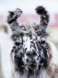Portrait of a Llama  Estancia Rio Penitente  Near Punta Arenas  Patagonia