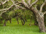 Arching Oaks in Carmel Valley
