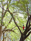 Keeper Climbing Tree at Masae Elephant Camp