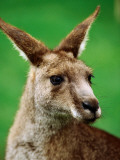 Portrait of an Eastern Grey Kangaroo