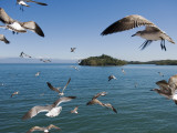 Birds Flying Along Ferry Ride Between Peninsula De Nicoya and Puntarenas