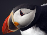 Puffin on Snaefellsnes Peninsula