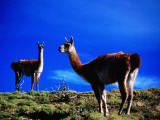 Guanacos Pausing from Grazing