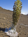 Blooming Silversword (Ahinaahina) Plant in Crater