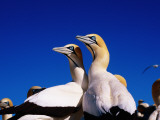 Cape Gannets at Colony