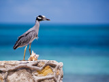 Adult Yellow-Crowned Night-Heron at Barracuda's  Cape Eleuthera
