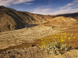 Brittlebush Blooming in Spring at Darwin Canyon Near Panamint Valley
