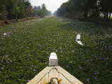 Water-Hyacinth Clogged Canal Between Alappuzha and Kottayam